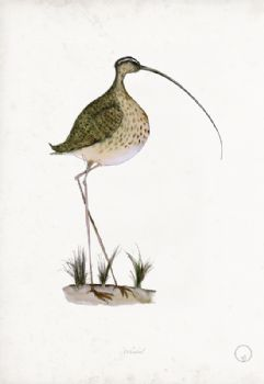 Whimbrel - artist signed print